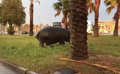 Hipopótamos, troles y trolas