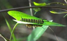 Larvas de mariposa Monarca confirman la recuperación de la especie en Motril