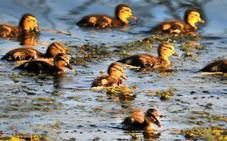 No cojas crías de pato, su madre está cerca