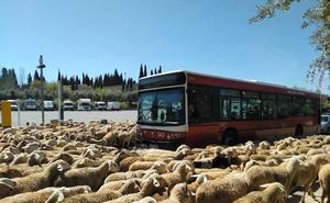 Cedan el paso... a las ovejas de la Alhambra