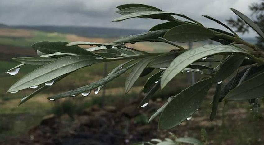 Hasta 209 litros llovidos en la provincia suben el nivel de los pantanos y 'calman' al olivar