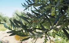 El aire de Jaén se llena de polen del olivo: ya está en nivel extremo
