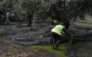 Quejas por la 'misión imposible' de fichar en el olivar jienense