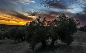 Jaén en el entorno de la olivicultura mundial: de la referencia a la urgencia