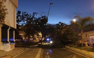 El fuerte viento derriba un árbol en Salobreña