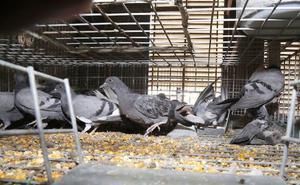 Robó 20 palomas en Padul y ahora puede ir cuatro años a la cárcel