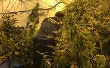 La Guardia Civil se incauta de 4.369 plantas de cannabis en Atarfe, Santa Fe, Híjar y Órgiva