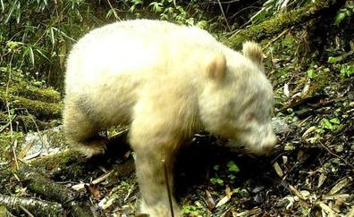 Un raro ejemplar de oso panda albino es avistado en China