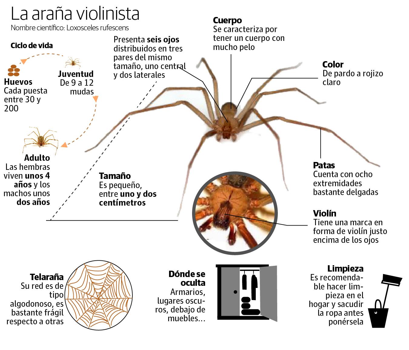 Así es la araña violinista que vive en España