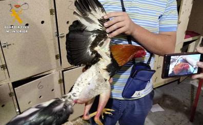 Se hace pasar por veterinario en Padul para cortar la cresta y la barbilla a gallos de pelea por 30 euros