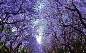 La amenza en España del árbol perfecto: es una especie invasora