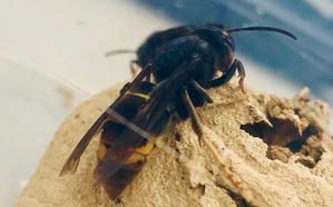 Síntomas de la picadura de la avispa asiática: «más grande y peor que la avispa normal»