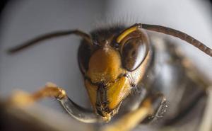 La verdad tras la avispa asiática que se está expandiendo por España