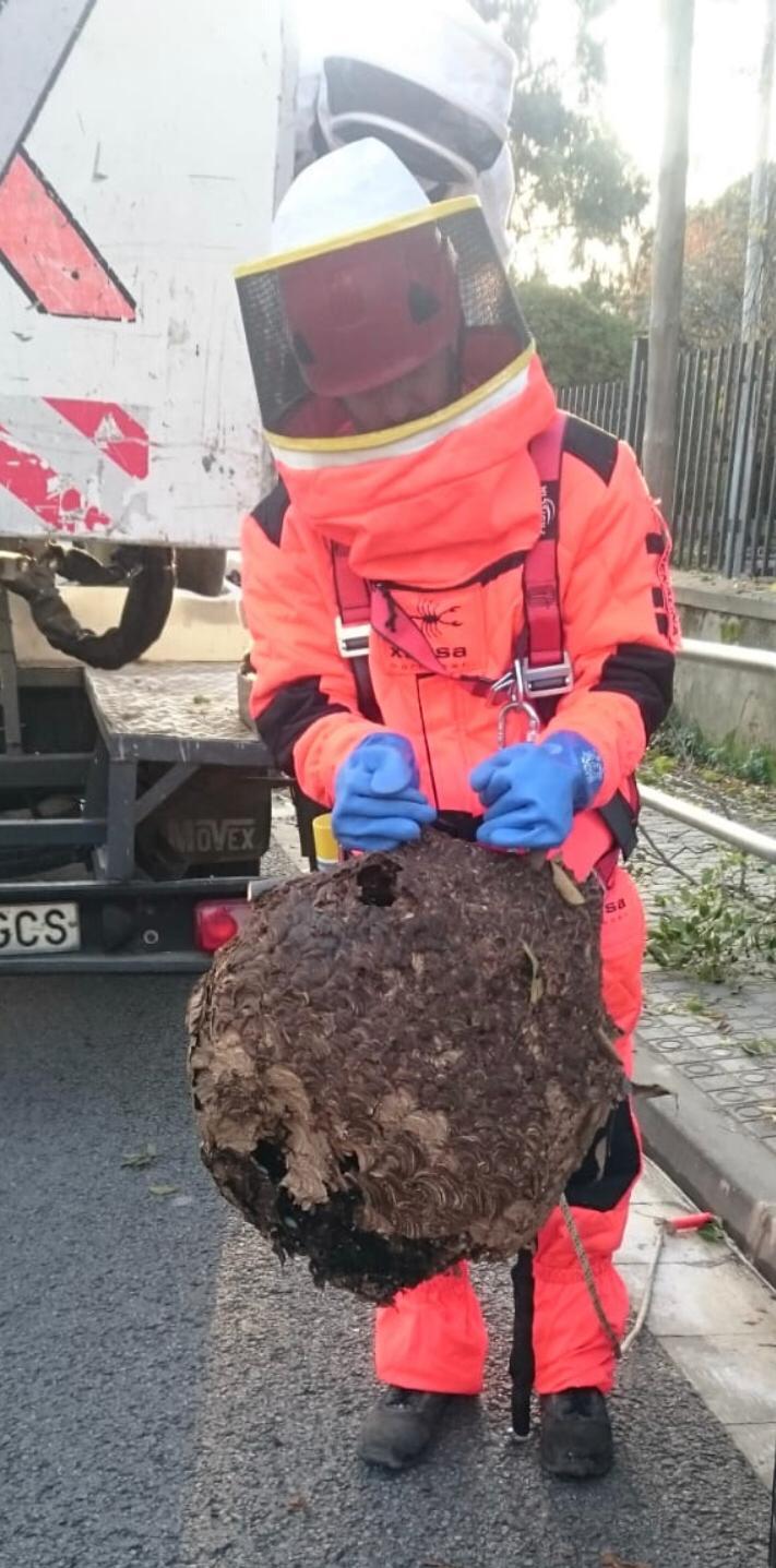 Así es la avispa asiática que ya ha provocado muertes en España