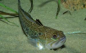Las criaturas marinas que pueden sorprender a los bañistas de las playas de Granada