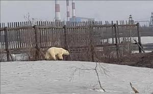 El vídeo que refleja los graves efectos del cambio climático: una osa polar recorre cientos de kms buscando comida