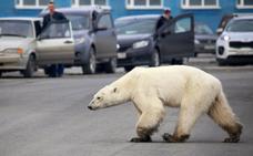 Una osa polar irrumpe en la ciudad en busca de comida