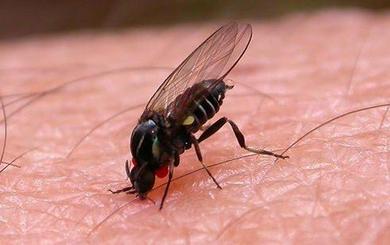 Así es la mosca negra que se expande en verano por España: no pica, muerde