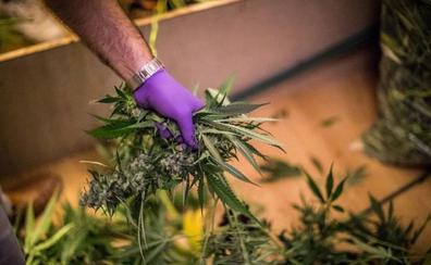 Detenidas cuatro personas e intervenidas 757 plantas de marihuana en Gádor