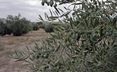Asaja pide que se condone el IBI rústico a los olivareros