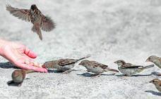 Los gorriones pierden el miedo a los humanos en las ciudades: el peligro de alimentarlos con cierta comida