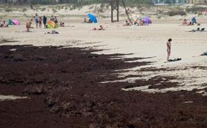 El alga asiática de Tarifa amenaza a las costas de Granada: «Es la invasión marina más grave»