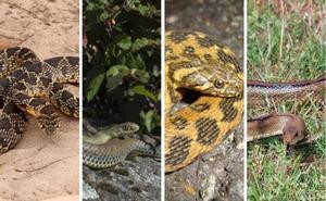Estas son las cuatro especies de serpientes que puedes encontrarte en Granada