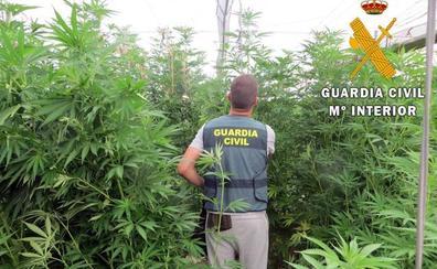 Cuatro detenidos con 5.375 plantas de marihuana ocultas entre un cultivo de tomates en Albuñol