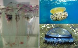 El CSIC alerta del aumento de medusas en España, incluidas especies invasoras