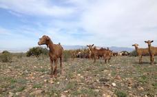 La sequía agrava la situación del sector de la ganadería en Almería