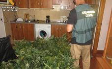 Un detenido y 562 plantas de marihuana intervenidas tras intento de robo y disparos al aire en Viator