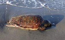 Aparece una tortuga boba muerta en Playa Granada