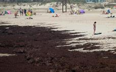 Andalucía pide al Gobierno que declare a la alga asiática especie invasora