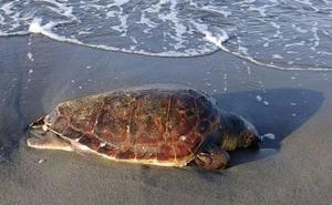 Serbal trata de proteger las nidificaciones de la tortuga boba en verano