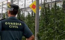 Once detenidos con 53.824 plantas de marihuana en Almería, Murcia y Alicante