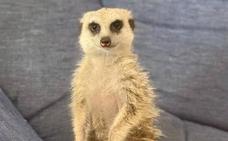 Una familia de Almuñécar busca a su suricato, desaparecido anoche