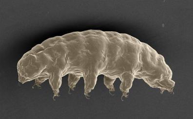 La Luna podría albergar una colonia de tardígrados «indestructibles»