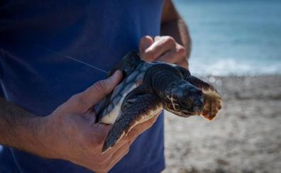 La Costa de Granada le da un respiro a las tortugas marinas