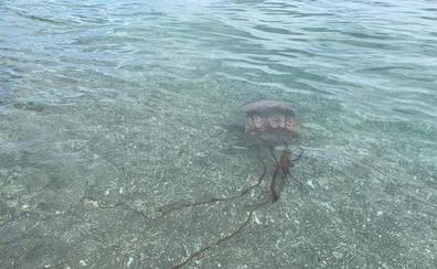 Una medusa de dos metros se pasea por las playas de Manilva