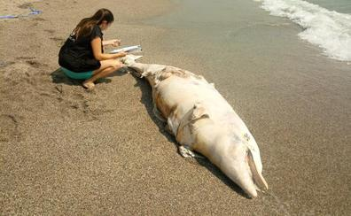 Aparece el cadáver de un delfín en la playa de El Zapillo de Almería