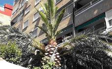 Trampas y feromonas para salvar de la muerte a las palmeras de Jaén tras arrancar ya veintiséis