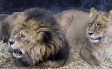 Tres leones matan a su dueño cuando el hombre se quedó a solas con ellos en un recinto cerrado