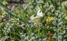 El 'efecto mariposa' que ha provocado una especie única en Baza