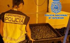 Desmantelados dos centros de producción de marihuana en Ogíjares y Huétor Vega