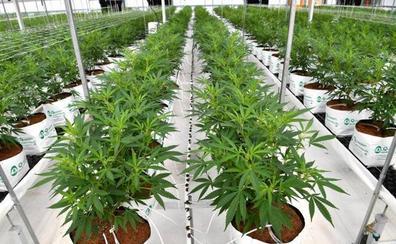 El Gobierno holandés cultivará cannabis en diez municipios