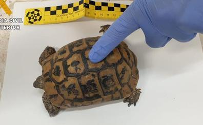 La Guardia Civil investiga a un joven de Granada por la venta de tortugas mora en internet