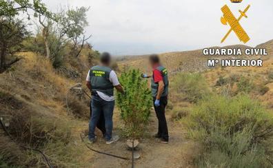 Detienen a una persona que cultivaba marihuana en una zona de acampada de Almería