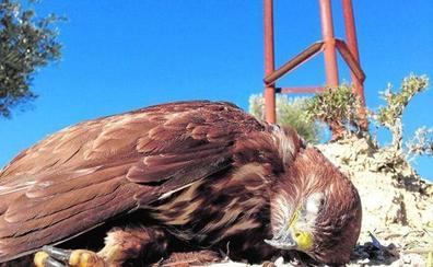 Registran unas 350 electrocuciones de aves en la provincia de Jaén durante 2019