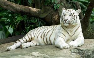 Investigan al dueño de un tigre albino como «mascota de lujo» en un chalet