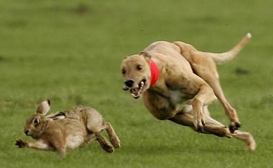 Absuelto el dueño de los perros acusado por un cazador de la muerte de un conejo en Ibercaza
